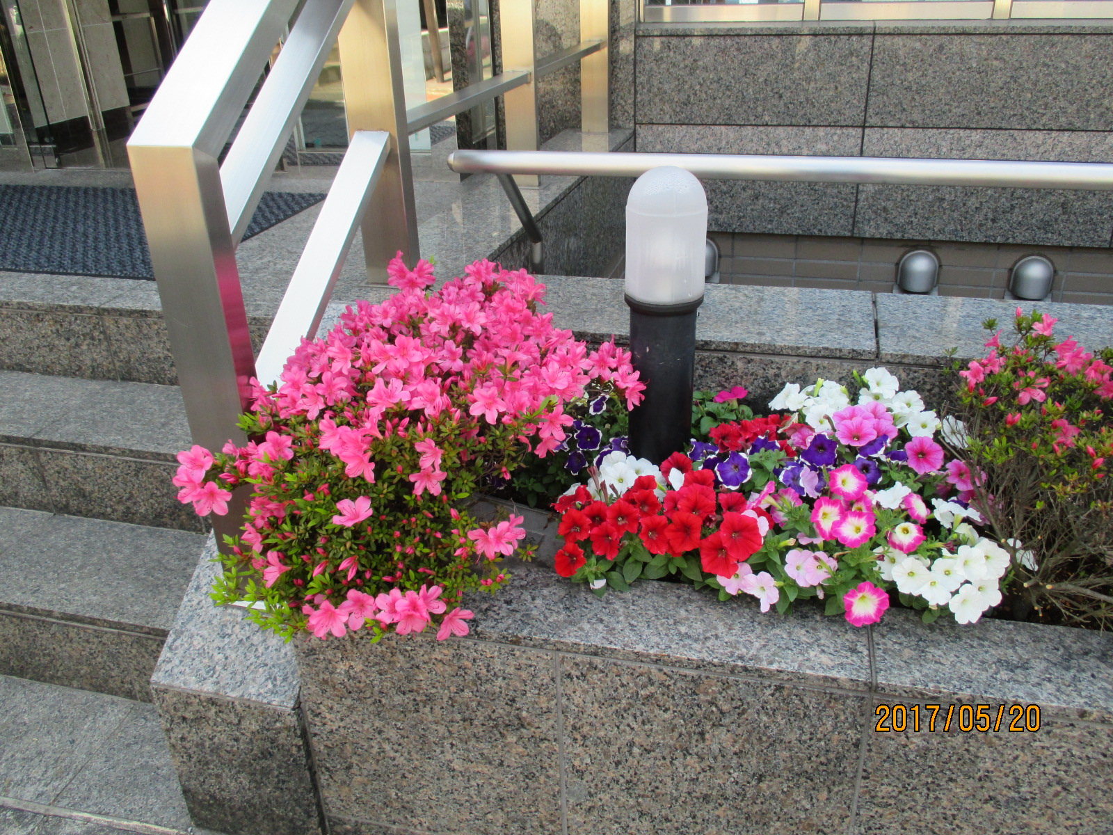 ≪第二ビルのサツキが綺麗に咲きました≫